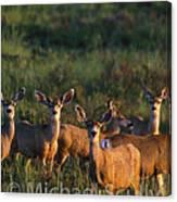 Mule Deer In Velvet 04 Canvas Print