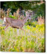 Mule Deer Canvas Print