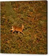 Mule Deer - Mattole Beach Canvas Print