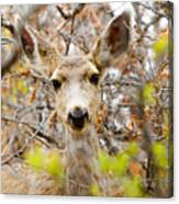 Mule Deer Portrait In The Pike National Forest Canvas Print