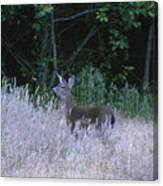 Mule Deer - Sinkyone Wilderness Canvas Print