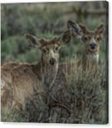 Mule Deer Visitors At Sunset Canvas Print