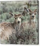 Mule Deer Visitors Canvas Print