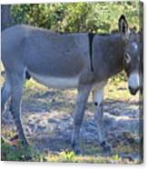 Mule In The Pasture Canvas Print
