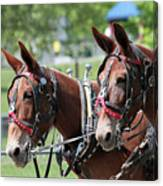 Mules Day 2016 Canvas Print
