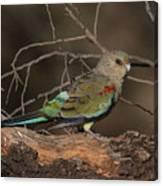 Mulga Parrot Female A Canvas Print