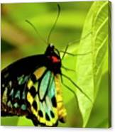 Multi Colored Buttrfly Canvas Print