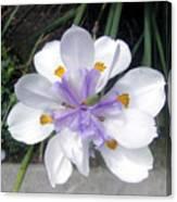 Multi-petal White Iris Flower. Very Unusual, Rare Form Canvas Print