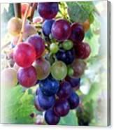 Multicolor Grapes Canvas Print