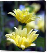 Mums In Bloom Canvas Print