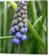 Muscari Drops Canvas Print