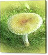 Mushroom - Amanita Muscaria Guessowii  Canvas Print