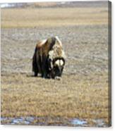Musk Ox Grazing Canvas Print
