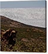 Musk Ox In Front Of Greenlandic Icecap Canvas Print