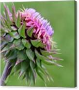 Musk Thistle In Bloom Canvas Print