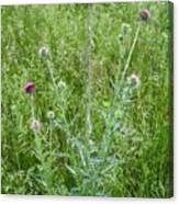 Musk Thistle In Full Glory Canvas Print