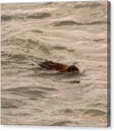 Muskrat In Lake Canvas Print