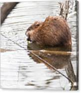 Muskrat Spring Meal Canvas Print