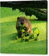 Muskrat Susie Or Muskrat Sam Canvas Print