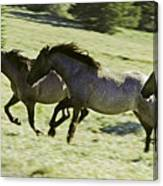 Mustang Mares Canvas Print