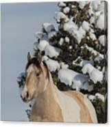 Mustang Winter Canvas Print