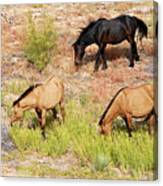 Mustangs Canvas Print
