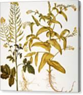 Mustard Plant, 1613 Canvas Print