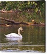 Mute Swan     Image 2      Spring        St. Joe River          Indiana Canvas Print