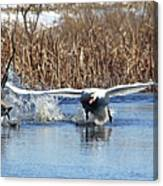 Mute Swan Chasing Canada Goose Canvas Print