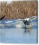 Mute Swan Chasing Canada Goose I Canvas Print