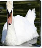 Mute Swan Feathers Of Lake Junaluska North Carolina  Canvas Print