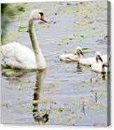 Mute Swan With Cygnets Canvas Print