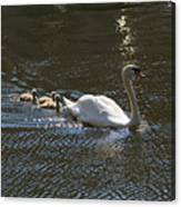 Mute Swan With Three Cygnets Following Canvas Print