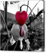 My Bleeding Heart Canvas Print