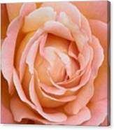 My Daily Rose Canvas Print