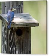 My First Bluebird Canvas Print