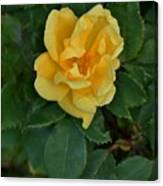 My First Yellow Rose Canvas Print