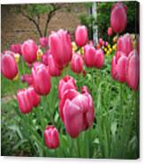 My Focus Was On The Tulips Canvas Print