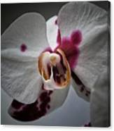 My Growling Dragon Orchid. Canvas Print