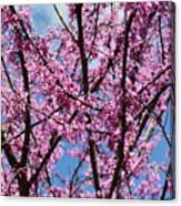 My Redbuds In Bloom Canvas Print