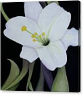My White Lily Canvas Print