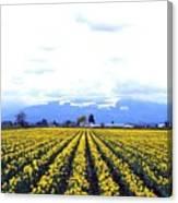 Myriads Of Daffodils Canvas Print