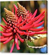 Naked Coral Tree Flower Canvas Print