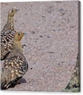 Namaqua Sandgrouse Canvas Print