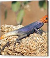 Namib Rock Agama, Male Canvas Print