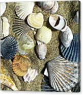 Nantucket Shells Canvas Print
