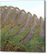 Napa Vineyard Canvas Print