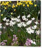 Narcissus And Daffodils In A Spring Flowerbed Canvas Print
