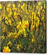 Narcissus And Grasses Canvas Print