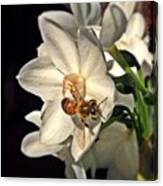 Narcissus And The Bee 3 Canvas Print